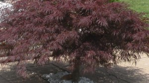 Japanese Dwarf Lace Maple Tree